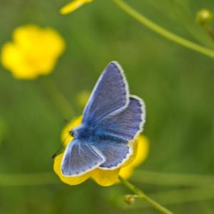 Common Blue 1 of 1